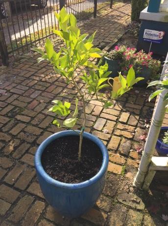 Meyer Lemon Tree in the morning light